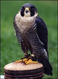 Je suis un oiseau rapace diurne, puissant et rapide, parfois domestiqué pour la chasse. Je suis un/une :