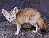 Je suis un petit renard du Sahara et d'Arabie, à longues oreilles et je fais partie de la famille des canidés. Que suis-je ?
