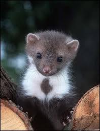 Je suis un mammifère carnivore d'Eurasie au pelage gris-brun, court sur pattes, je vis dans les bois. Que suis-je ?