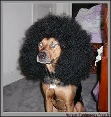 Style de coiffure frisée, très dense et arrondie. Les Jackson Five en sont de très populaires représentants.