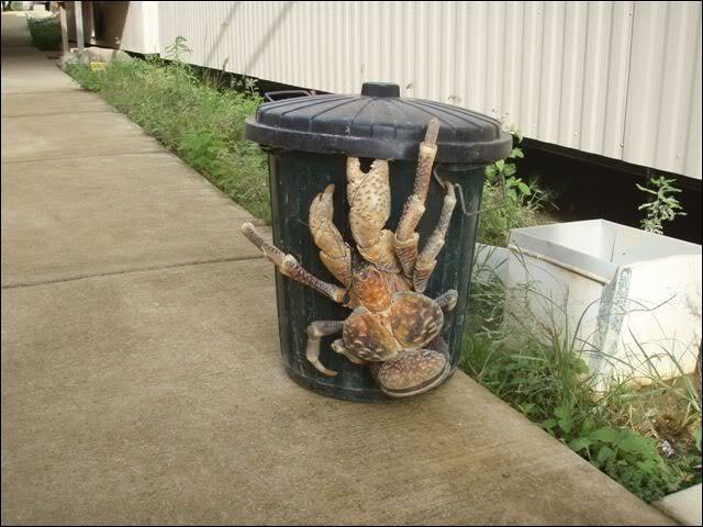 Ce crabe des cocotiers peut grimper aux arbres, malgré sa masse !