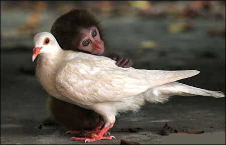 C'est un bébé gorille qui est devenu l'ami de ce pigeon !