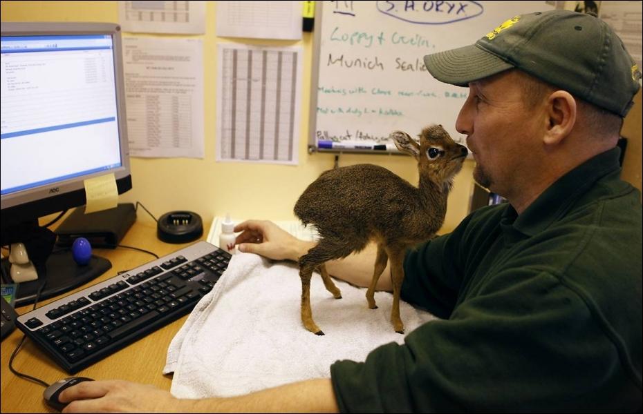Ce bébé est un dik-dik, une antilope naine d'Afrique !