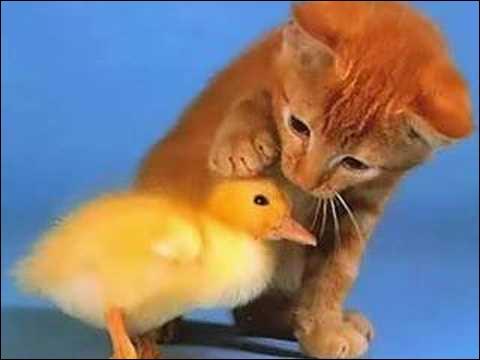 Dans les années 60, on pouvait suivre à la télévision les aventures d'un petit canard jaune, il s'appelait Antonin !