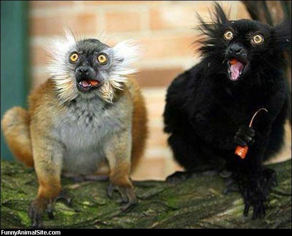 Aucun problème pour les identifier, ce sont des lémuriens, donc des primates !