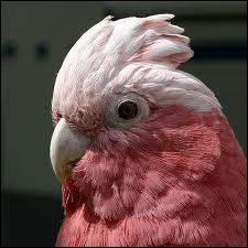 Définition de rosalbin :  Cacatoès gris à tête blanche et rose.
