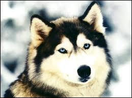 Définition de husky :  Chien à fourrure beige et noire, aux yeux bleus.