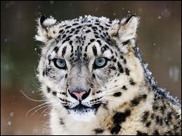 Définition d'once :  Grand félin sauvage de l'Himalaya, à l'épaisse fourrure gris-brun, appelé aussi léopard des neiges, panthère des neiges.