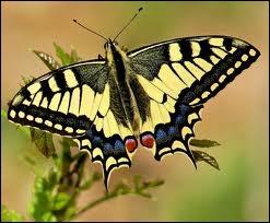 Définition de machaon :  Grand papillon aux ailes jaune vif rayées de noir, appelé aussi grand porte-queue.
