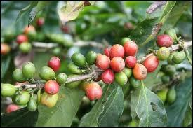 Le fruit du caféier s'appelle …