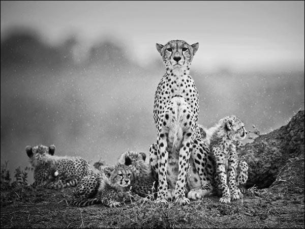 Cette maman léopard défendra ses quatre petits au péril de sa vie !