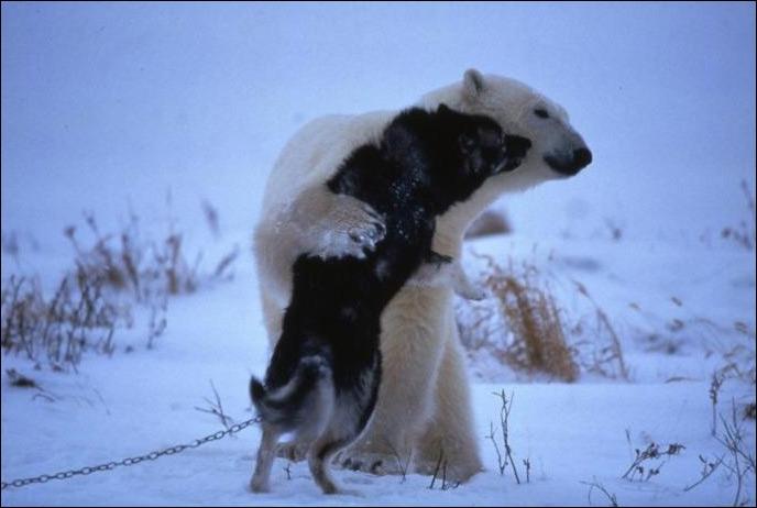 Dans quelques instants, cet ours polaire va dévorer ce chien !
