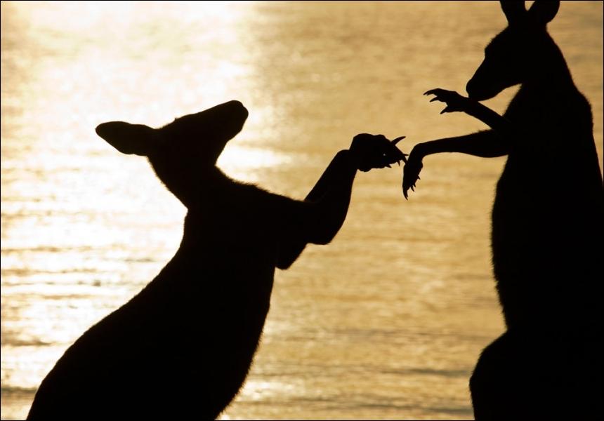 Un kangourou peut se tenir en appui seulement sur sa queue !