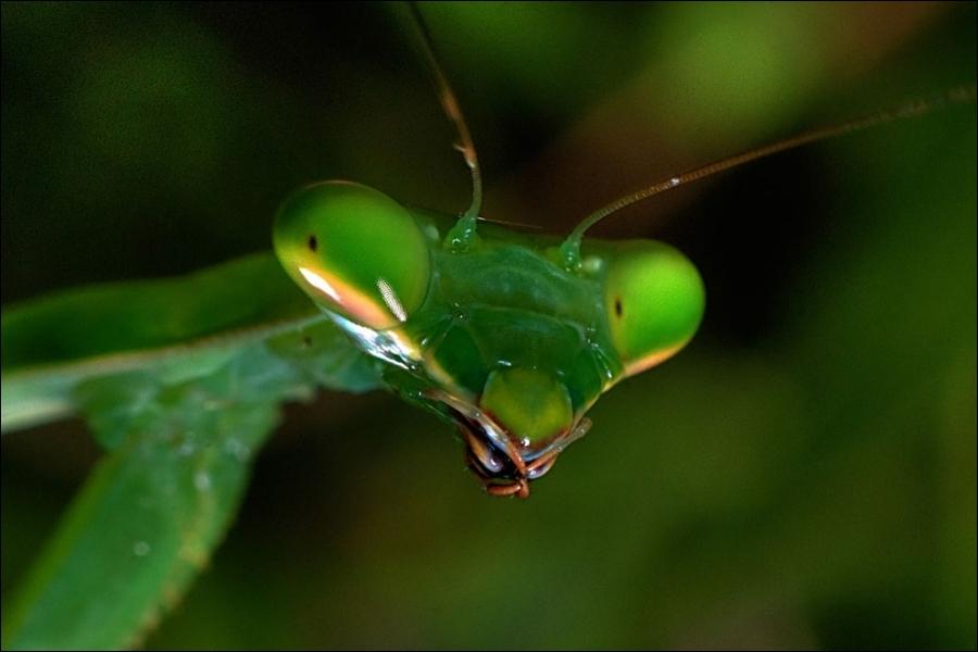 Le principal prédateur de l'insecte que vous voyez sur la photo est la mante religieuse !