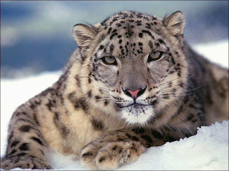 Ce magnifique félin, la panthère des neiges, vit ...