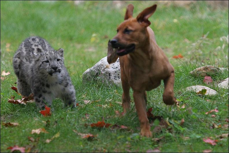 Le compagnon de ce chien est un jeune puma !