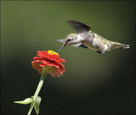Le colibri peut voler à reculons !