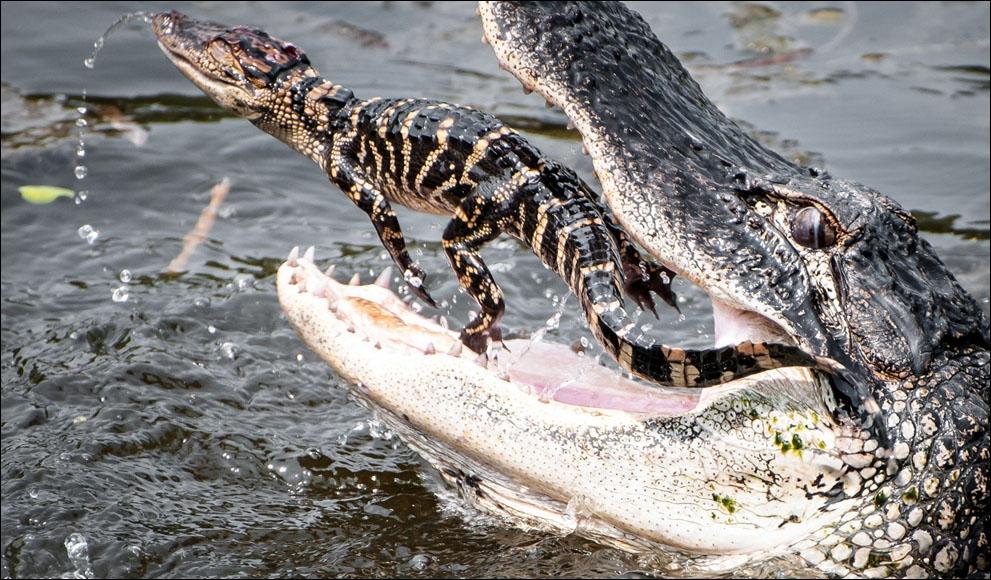 Comme le prouve cette photo, maman crocodile est une mère très attentionnée, qui protège ses petits dans sa gueule !