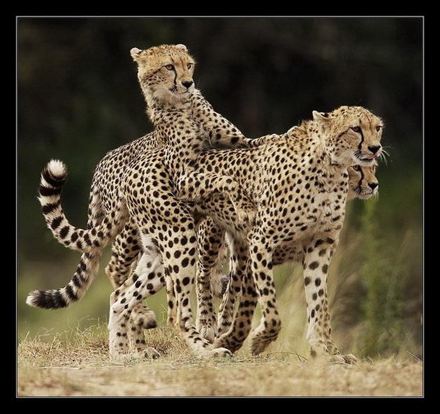 Ce sont des félins qu'un certain nombre d'entre vous ont beaucoup de mal à identifier, les guépards !