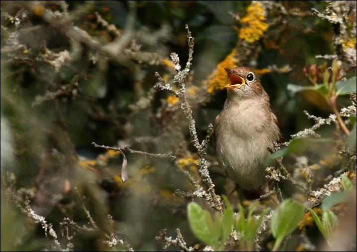 Le rossignol est le seul oiseau dont les ... et les ... puissent se comparer au chant d'une voix humaine. Complétez.