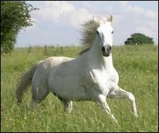 Quelle est la race de ce cheval espagnol ?