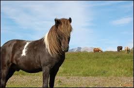Quelle est la race de ce poney qui a cinq allures ?