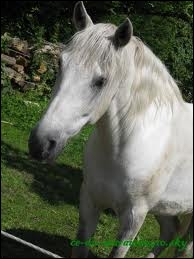 Quelle est la race de ce cheval gris ?