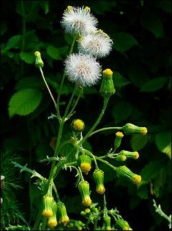 Des vertus des plantes par Macer Floridus, 1832 10_0l1tz