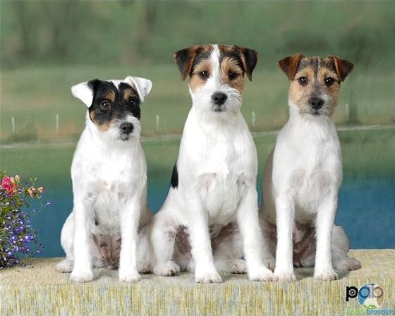 Chien Jack Russell et Parson Russell
