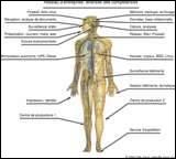Dans le corps humain, où se trouve le mastoïde ?