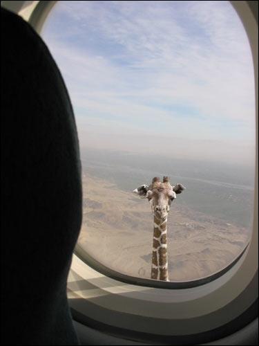 Pouvant atteindre le poids de 800 kg, quelle taille peut légèrement dépasser une girafe ?