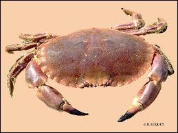 Quel est ce crustacé de type  crabe  aux pinces courtes et robustes ?