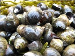 Quel est ce coquillage gastéropode (escargot de mer) ?