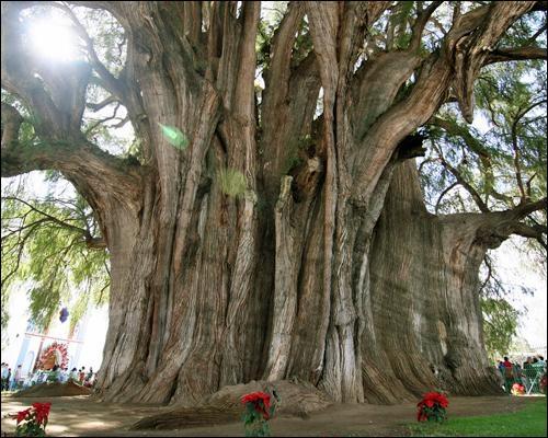 Cet arbre est le plus large au monde avec 36 mètres de circonférence et presque 12 mètres de diamètre. L'arbre de Tule serait âgé de 1200 à 3000 ans. On peut le trouver :