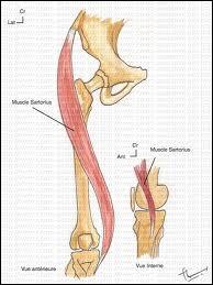 Un de nos muscles porte un nom de métier. Lequel ?