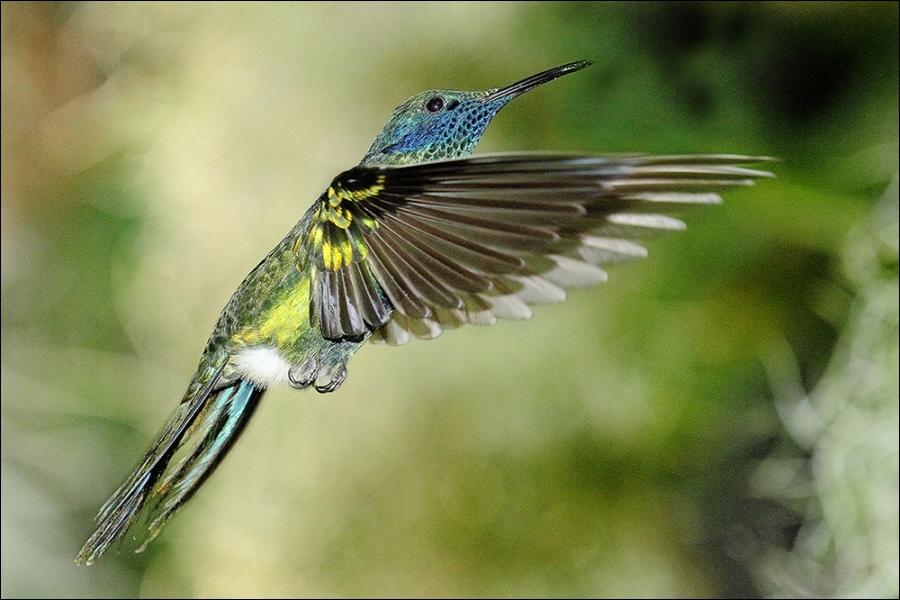 Il existe 200 espèces de colibris. Ceux-ci produisent un vrombissement caractéristique lorsqu'ils volent. Les plus petites espèces peuvent battre des ailes à un rythme de :