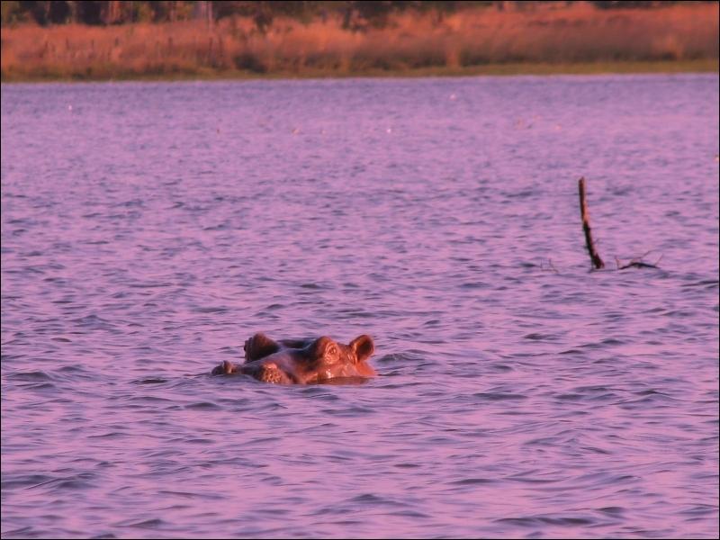 Parmi ces trois mammifères terrestres, lequel cause le plus de victimes mortelles chez les humains ?