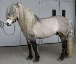 Un cheval d'Ecosse :