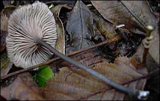 Ce champignon est-il comestible ?