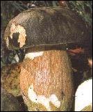 Ce champignon au chapeau rond est-il comestible ?