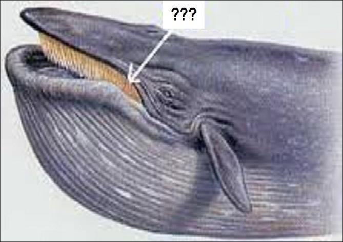 Comment appelle-t-on les lames cornées qui garnissent la mâchoire supérieure de certains cétacés comme la baleine bleue ?