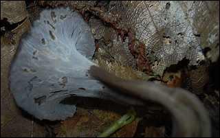 Quel est ce champignon très parfumé ?