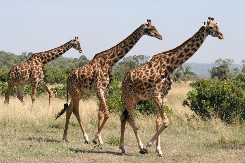 Que dit-on de la girafe lorsqu'elle court ?