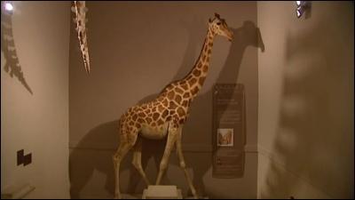 Cette girafe empaillée est visible au muséum d'histoire naturelle de La Rochelle. C'est celle qu'un vice roi d'Egypte offrit en 1827 au roi français de l'époque, c'est-à-dire :