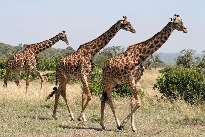 Autour de la girafe