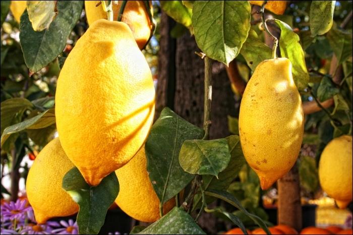 Sa forme est elliptique plutôt que ronde, sa couleur jaune vif. Il se caractérise également par des rameaux très fructifères, je suis le citron ... ?