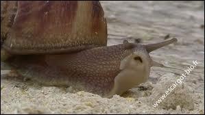 Est-ce que l'escargot a des dents ? Si oui combien ?