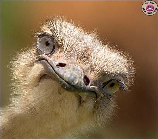 Quel animal a l'œil plus gros que le cerveau ?