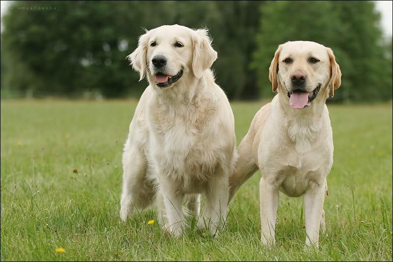 Quelle est la différence entre ces deux chiens ?