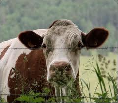 Comment appelle-t-on une vache de plus de 12 ans ?